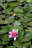 Colorful European White Waterlily flower on a pond water surface. Colorful European White Waterlily flower with green leaves on a pond water surface Stock Photo