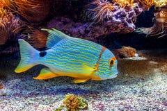 Colorful exotic fish in aquarium. Royalty Free Stock Images