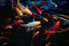 Colorful exotic koi fish in a feeding frenzy. Colorful exotic orange and silver koi fish in a feeding frenzy as they fight for fodd in a shallow pond in Royalty Free Stock Photos