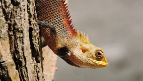 Colorful exotic lizard with sharp spikes royalty free stock image