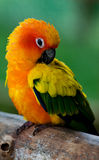 Colorful exotic parrot. Colorful and exotic parrot with blur background Royalty Free Stock Photo