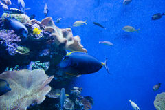 Colorful exotic tropical fishes underwater in aquarium. Royalty Free Stock Photos