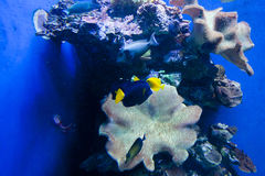 Colorful exotic tropical fishes underwater in aquarium. Stock Images