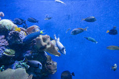 Colorful exotic tropical fishes underwater in aquarium. Stock Photography