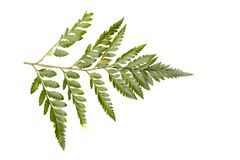 Green leaf of a fern tree isolated on white background. Stock Photo