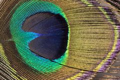 Shining Eye of a Peacock Feather - Close up stock photography