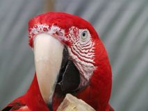 Colorful face of a parrot. Up close to a parrot face stock photos