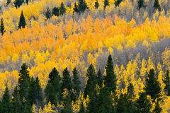 Colorful Fall Aspen Forest Royalty Free Stock Image