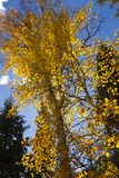 Colorful Fall Aspen Leaves Royalty Free Stock Photography