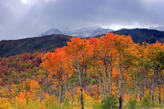 Colorful fall aspens Royalty Free Stock Photo