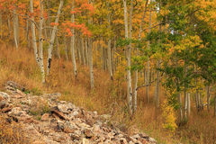 Colorful fall aspens, Utah Stock Photography