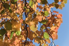 Colorful fall foliage golden Bradford pear leaves with backlit b. Beautiful autumn leaves backlit, Bradford pear Callery pear tree royalty free stock photo