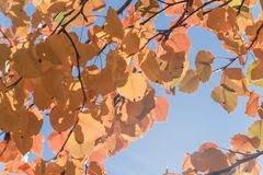 Colorful fall foliage golden Bradford pear leaves with backlit b. Beautiful autumn leaves backlit, Bradford pear Callery pear tree royalty free stock photos