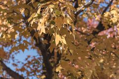 Colorful fall foliage golden Bradford pear leaves with backlit b. Beautiful autumn leaves backlit, Bradford pear Callery pear tree royalty free stock images