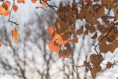 Colorful fall foliage golden Bradford pear leaves with backlit b. Beautiful autumn leaves backlit, Bradford pear Callery pear tree stock photos