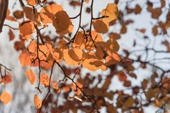 Colorful fall foliage golden Bradford pear leaves with backlit b. Beautiful autumn leaves backlit, Bradford pear Callery pear tree stock photo