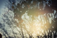 Colorful fall foliage golden Bradford pear leaves with backlit b. Beautiful autumn leaves backlit, Bradford pear Callery pear tree stock image