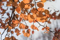 Colorful fall foliage golden Bradford pear leaves with backlit b. Beautiful autumn leaves backlit, Bradford pear Callery pear tree stock images