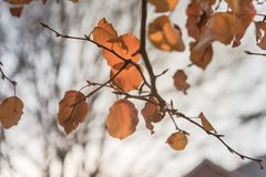 Colorful fall foliage golden Bradford pear leaves with backlit b. Beautiful autumn leaves backlit, Bradford pear Callery pear tree royalty free stock photography