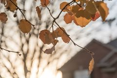Colorful fall foliage golden Bradford pear leaves with backlit a. Beautiful autumn leaves backlit close-up with blurred house in background, Bradford pear royalty free stock images