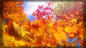 Colorful fall foliage. Picture taken upwards to get a blue sky back drop .Taken in fall with a black  boarder Stock Images