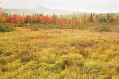 Colorful fall foliage in wetlands near Rangeley, Maine. Royalty Free Stock Photography