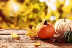 Colorful fall harvest. With an orange and a white pumpkin with a variegated green and white squash on an old rustic wooden table in a garden with golden autumn Royalty Free Stock Photo