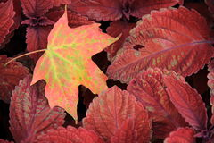 Colorful Fall leaf on Coleus plants Stock Photos