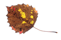 Colorful Fall Leaf Isolated Stock Photography