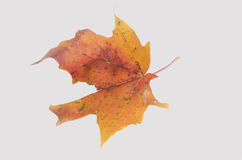 Colorful Fall Leaf on White background Stock Images