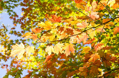 Colorful Fall Leaves Back Lit. Red, orange and yellow maple leaves against the blue sky Royalty Free Stock Photography
