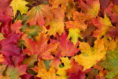 Colorful fall leaves. Beautiful, colorful fall leaves background stock image