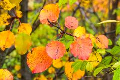 Colorful Fall leaves on branches, natures abstract. Taken in Kentucky Stock Photos