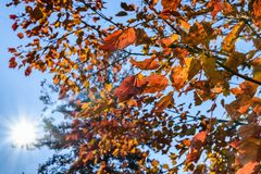 Colorful Fall leaves on branches, natures abstract. Taken in Kentucky Stock Photo