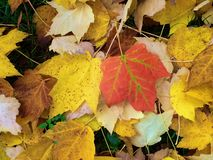 Colorful fall leaves. Bright leaves on the ground during autumn stock photo