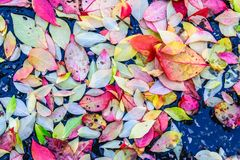 Colorful Fall leaves captured on ground, natures abstract. Taken in Kentucky Stock Photo