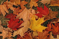 Colorful fall leaves. On ground with green grass Royalty Free Stock Photo