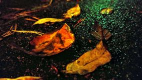 Colorful fall leaves on road at night. Close up of bright autumn leaves and pine needles on wet asphalt road at dark evening after rain Royalty Free Stock Images