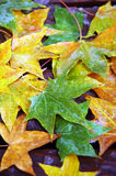 Colorful fall maple leaves Royalty Free Stock Photography