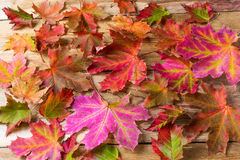 Colorful fall maple leaves background Stock Images