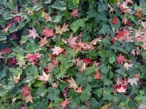 Colorful fall maple leaves on a background of green grass. Top view. royalty free stock image