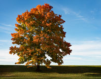 Colorful Fall Maple Tree at Sunset Stock Image