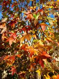 Colorful Fall Mosaic of Sweetgum Leaves Royalty Free Stock Image
