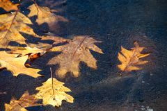Colorful fall Oak leaf on thin ice on silver creek Ohio stock image