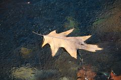 Colorful fall Oak leaf on thin ice on silver creek Ohio royalty free stock photography