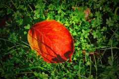 Colorful fall red leave on a background of green clover Royalty Free Stock Image