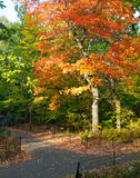 Colorful Fall Tree in Central Park, New York City Royalty Free Stock Images