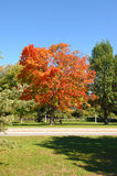 Colorful fall tree. Royalty Free Stock Images
