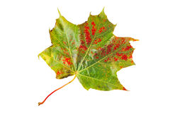 Colorful fallen autumn leaf. Isolated on a white background Stock Image