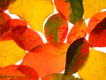 Colorful fallen autumn leaves Royalty Free Stock Images